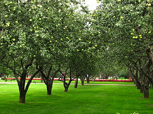 English: Apple orchards in Kolomenskoye (Mosco...