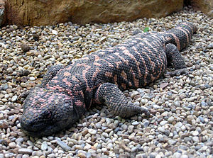 The venomous Gila monster, Heloderma s. suspectum
