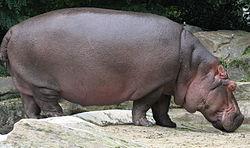 Common hippopotamus, Hippopotamus amphibius