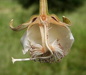 Flower of baobab (Adansonia digitata) in longi...