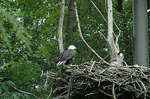 Bald eagle on its nest