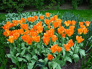 English: Orange tulips in Keukenhof flower gar...