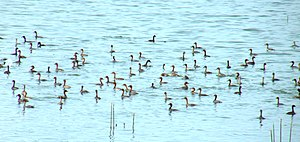 English: Little Grebes swim together.
