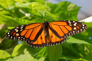 Monarch male showing its wings to attract a mate