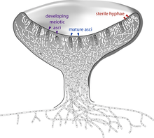 Cross-section of a cup-shaped structure showing locations of developing meiotic asci (upper edge of cup, left side, arrows pointing to two gray cells containing four and two small circles), sterile hyphae (upper edge of cup, right side, arrows pointing to white cells with a single small circle in them), and mature asci (upper edge of cup, pointing to two gray cells with eight small circles in them)