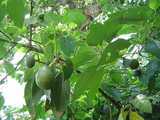 Avocado fruitnfoliage