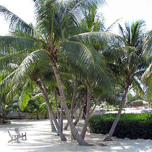 Florida Keys Coconut Palm (Cocos nucifera)