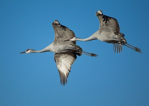 Sandhill Cranes flying at Bosque del Apache Na...