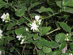 Melati putih dengan bunganya