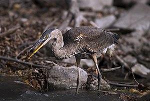 Great Blue Heron (Ardea herodias) fishing. Укр...
