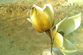 English: Wood Rose or Merremia tuberosa.