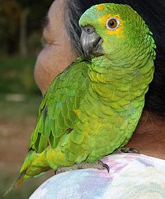 Papagaio (fêmea nasc. 2006), Avaré