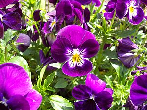 English: Violet and yellow violets (Viola) Fra...