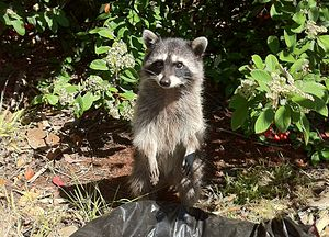 English: Raccoon standing, expecting me to thr...