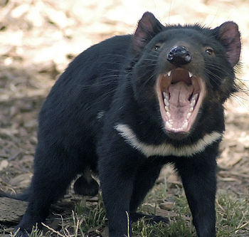 Tasmanian Devil in defensive stance, at Tasman...