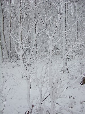 English: Small trees after heavy snowing.