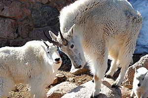 Mt Evans, Colorado, USA - Mountain Goats - htt...