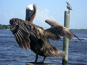 Two brown pelicans rest on wooden posts in the...
