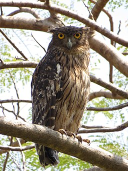 Brown Fish Owl (Ketupa zeylonensis) of Thrissur, Kerala