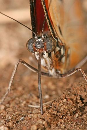 A portrait of a Danaid Eggfly, Hypolimnas misippus