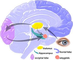 Human brain parts during a fear amygdala hijac...