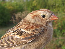 Field sparrow head.JPG
