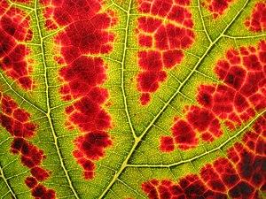 Autumn - closup view of a Vine leaf in back li...