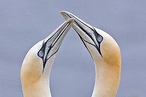 English: Northern Gannets (Morus bassanus), Bo...