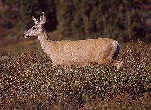 The Mule Deer is one of many species first nam...