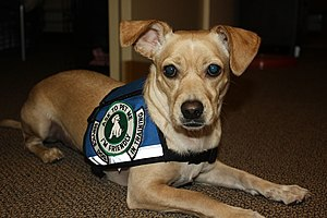 Psychiatric Service Dog In Training