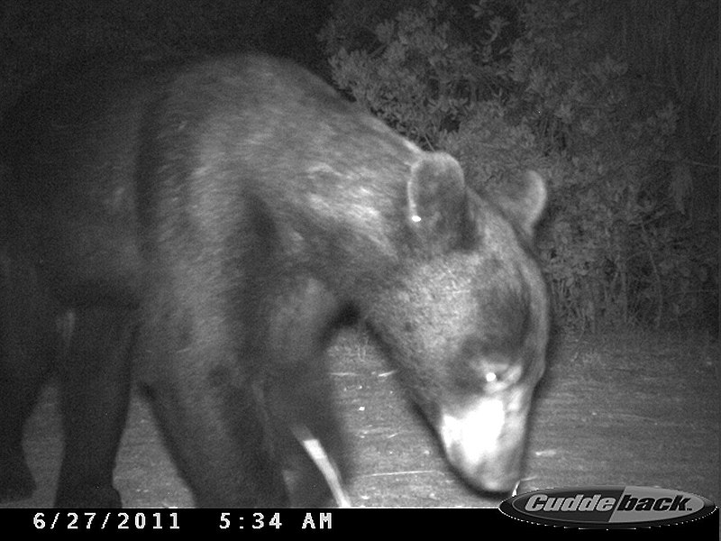 File:Young black bear (6492409733).jpg