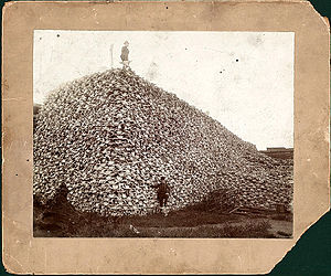 A pile of bison skulls in the 1870s.
