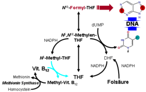 Metabolism of folic acid. The role of Vitamin ...