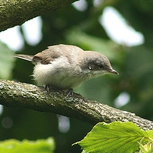 Lesser Whitethroat (Sylvia curruca) in Otternd...
