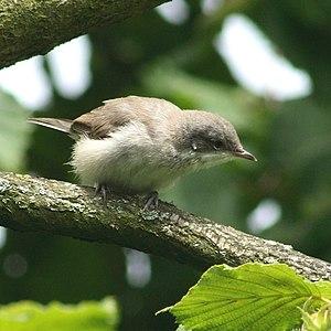 Lesser Whitethroat (Sylvia curruca) in Otternd...