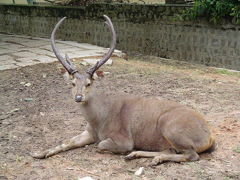 Rusa Sambar (wikipedia)