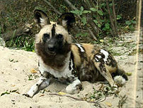 African Wild Dog at Bronx Zoo.