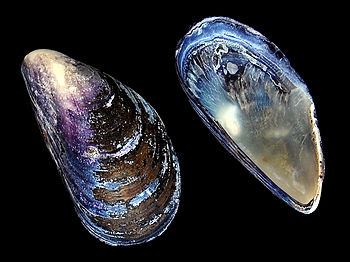 Image of a blue mussel (Mytilus edulis) shell.