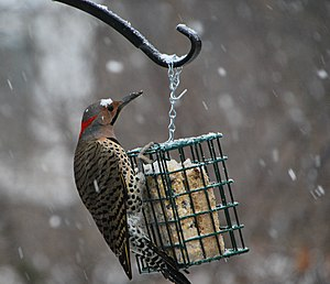 A male Northern Flicker (or Yellow-shafted Fli...