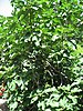 Budding Fig Tree
