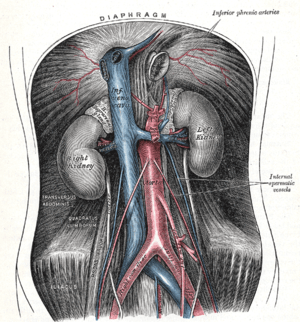 The abdominal aorta and its branches.