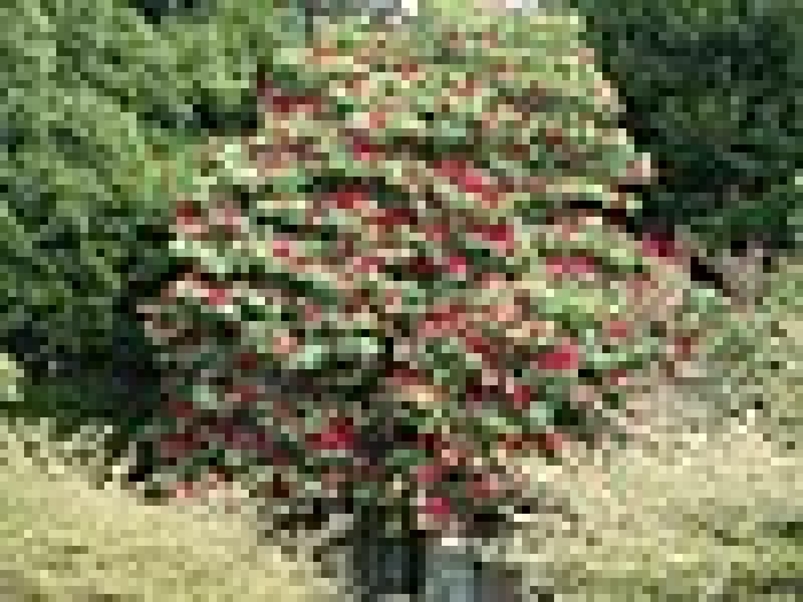 Rhododendron arboreum 2009.jpg