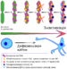 X chromosome inactivation v3.png