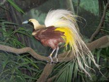 Cenderawasih Kuning Kecil(Paradisaea minor)