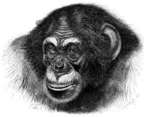 Chimpanzee head sketch