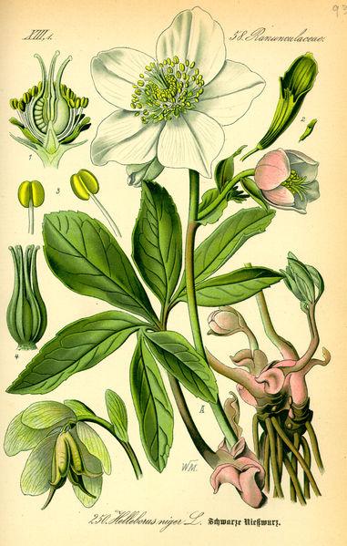 File:Illustration Helleborus niger0.jpg