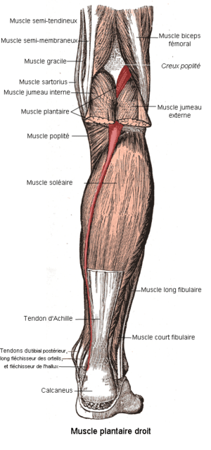 Muscle plantaire
