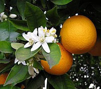 Orange blossom and oranges. Taken by Ellen Lev...