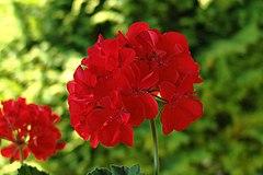 Flor de pelargónia