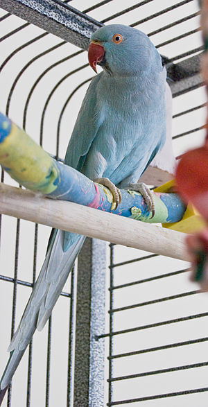 Rose-ringed Parakeet (Psittacula krameri). Blu...